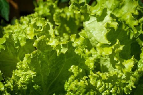 Salade Mix 5 Variétés De 1500 Graines Rouge /& Vert pflücksalat et Laitue