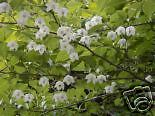 Styrax japonica JAPANESE STYRAX TREE Seeds!