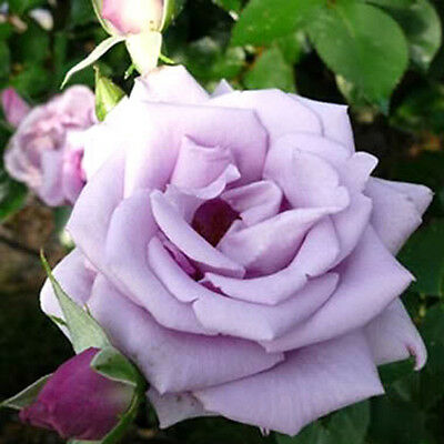 woo-wall Happy Violet Rugosa Rose (Rosa rugosa) 5 seeds flower [ZZ90]