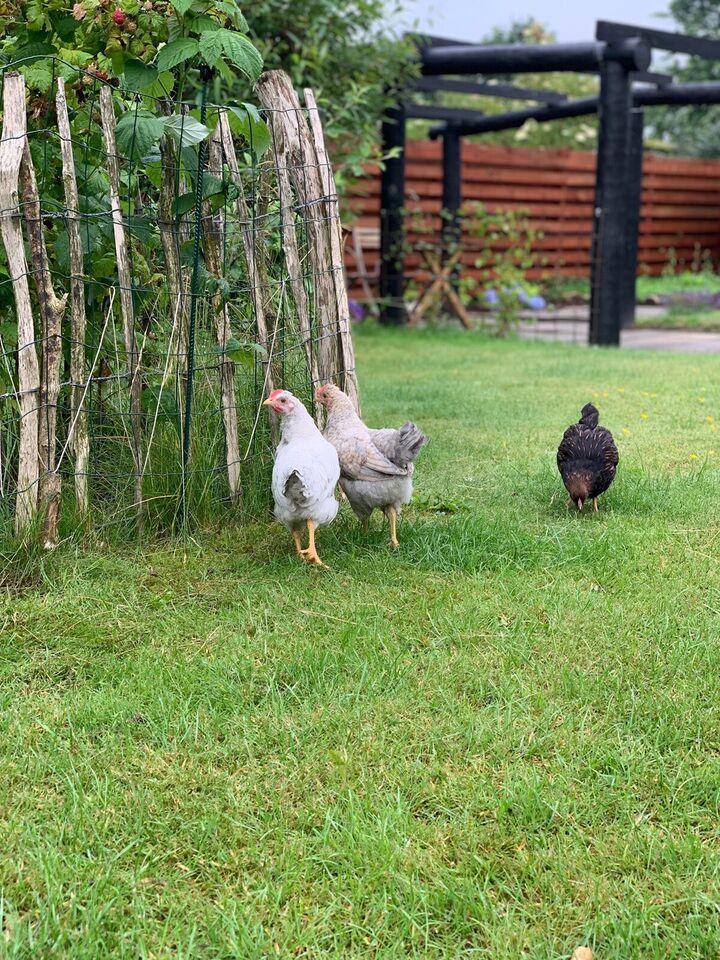 Høns, 2 stk.