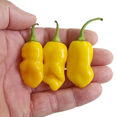 Chilli Seeds - Datil Pepper - 10 x Chilli Pepper Seeds