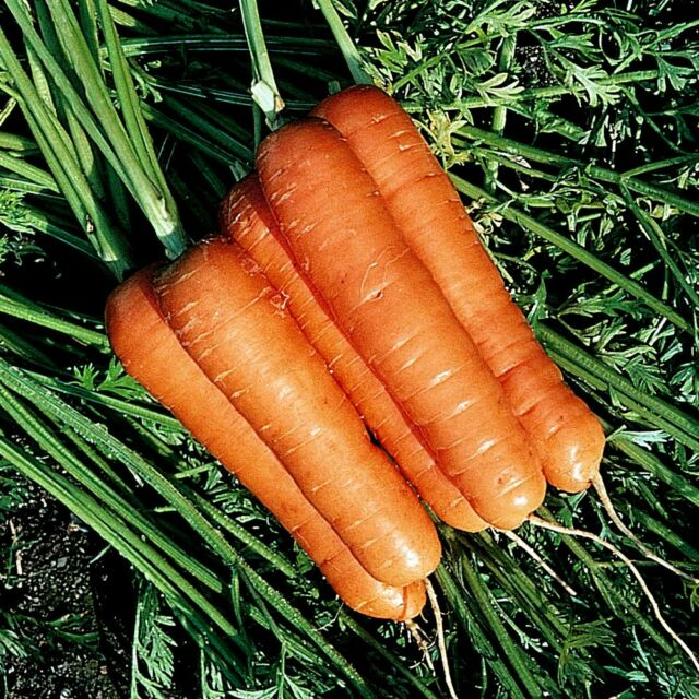 Carrot Resistafly F1 -  Appx 200 seeds  - Free P&P - Vegetables