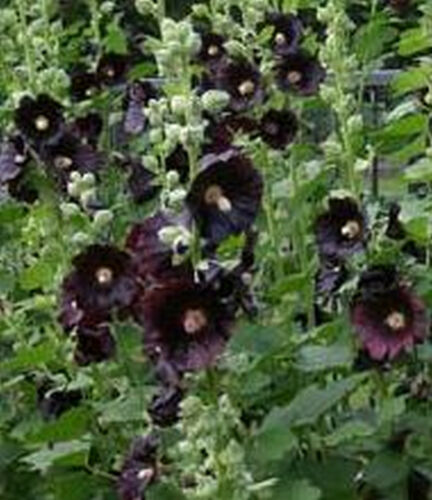 Stockrose schwarz 50 Samen mehrjährig Staude Althea Rosea Nigra Selten Rarität *