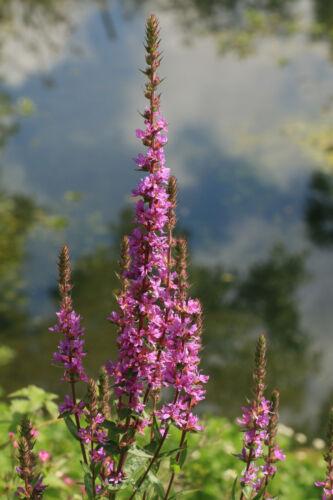Gewöhnlicher Blutweiderich 600 Samen Lythrum Salicaria Gerberpflanze