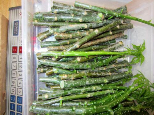 30 Cuttings Chaya Miracle Spinach Tree Edible Medicinal plant