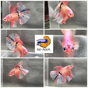 Cotton candy pink and blue marble koi Halfmoon Male Betta