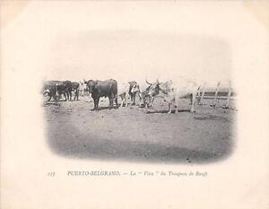 CPA-ARGENTINE-PUERTO-BELGRANO-LA-VACA-DU-TROUPEAU-DE-BOEUFS