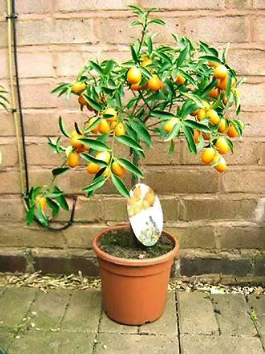 Soporte madura Aroma Kumquat Cítricos Naranja Fruta interior casa del árbol planta En Maceta