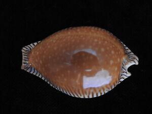 Sea-shell-Cypraea-guttata-surinenses-f-bengalensis-51-7mm-ID-5635