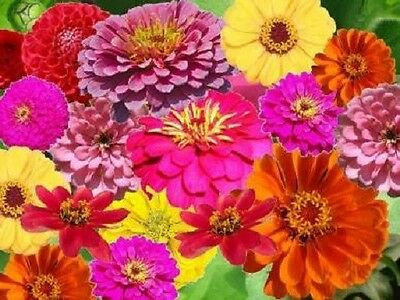 250 ZIN MASTER ZINNIA MIX Elegans Mixed Colors Flower Seeds + Gift & Comb S/H
