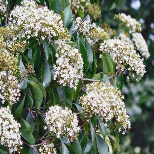 DIAMOND LEAF PITTOSPORUM SEEDS PITTOSPORUM RHOMBIFOLIA FLOWERING TREE 50 SEEDS