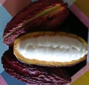 Theobroma-cacao-10-frische-Kakaobohnen-aus-der-Frucht-entnommen-10-Samen