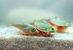 Image Is Loading Triop Eggs Amp Fairy Shrimp Fresh Water
