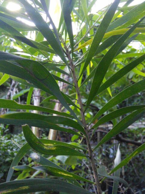 Acacia maidenii Maidens Wattle Fresh Organic Seed Native Shaman Medicinal