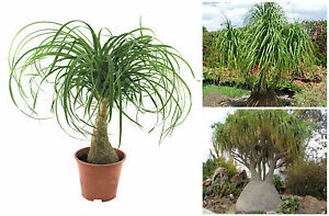 10 semi di Nolina guatemalensis,<wbr/>Beaucarnea guatemalensis,<wbr/>mangiafumo,see<wbr/>ds