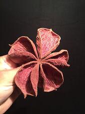 Cabinet de curiosités Fleur seche de Karaya Sterculia urens d'Inde!!