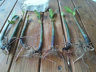 27 Red Mangroves Live Aquarium Plants Saltwater or Fresh Filter Refugium