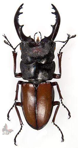Prosopocoilus umhangi 65+mm-VERY LARGE,UNMOUNTED beetle