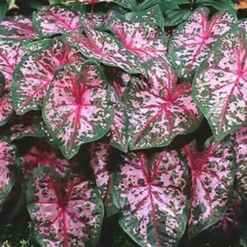 Elephant Ear Bulbs Caladium Flower Pink Perennial Tropical Rare Plants Balcony