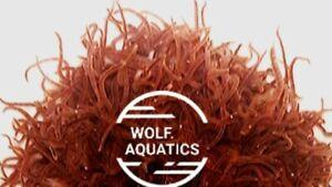 Live-Blackworms-Fish-amp-Amphibians-LOVE-them-USA-Only-1-OZ