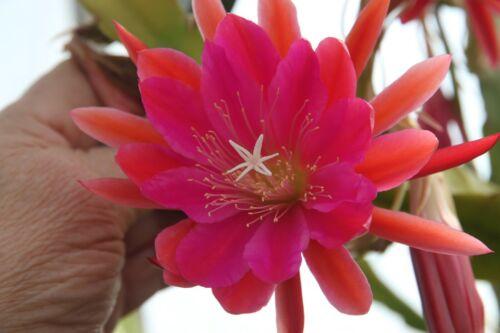 """Epiphyllum Feuille Cactus epicactus /""""Copper Nob/"""" steckling"""