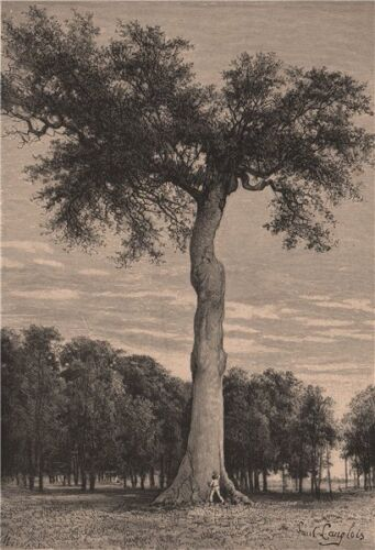 Central America 1885 old antique vintage print picture Ceiba tree