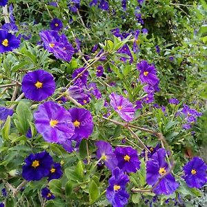 Lycianthes rantonnetii solanum 3010gift seeds purple flowers blue image is loading lycianthes rantonnetii solanum 30 10gift seeds purple flowers mightylinksfo