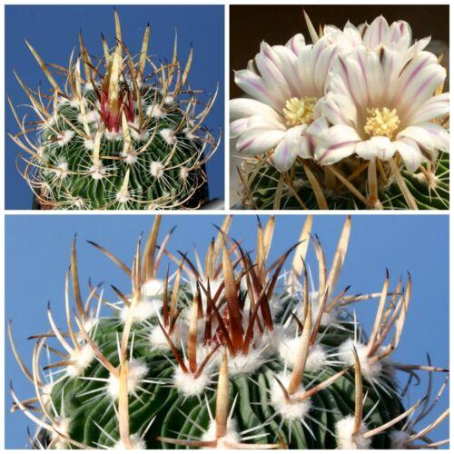 seeds succulents G 10 Samen der Echinofossulocactus zacatecasensis Sukkulenten
