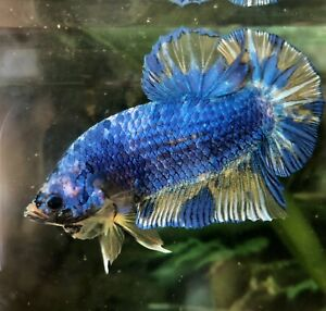 Betta Fish Giant Yellow Blue Marble, Size BO2""