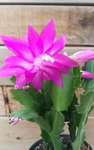 SCHLUMBERGERA-039-039-Thor-Ritt-039-039-Christmas-Cactus-Esqueje-Small-5cm-Stem-Cutting