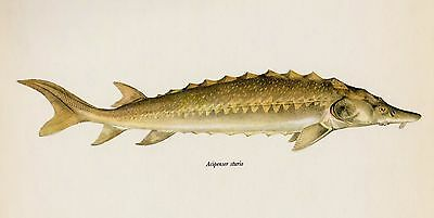 Vintage Fish Print Sea Sturgeon Print Fishing Collectible Beach Decor 2021