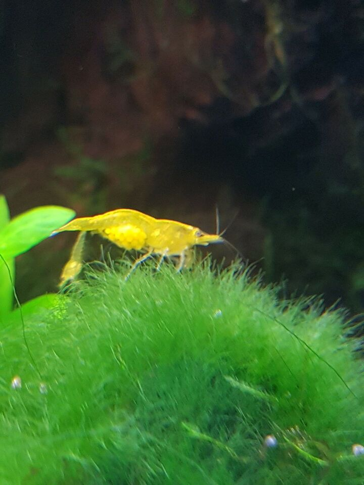 "Neocaridina ""Yellow"", 10 stk."