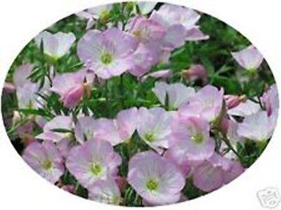 Evening Primrose - Soft Delicate Pink  BEAUTIFUL 100sds+ 1 pk FREE