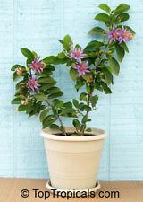 Grewia occidentalis, Sternbusch, Star Flower, Cross-Berry, 10 Samen