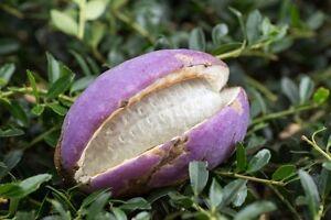 Akebia-quinata-der-Schokoladenwein-eine-Wahnsinnsfrucht-im-Garten