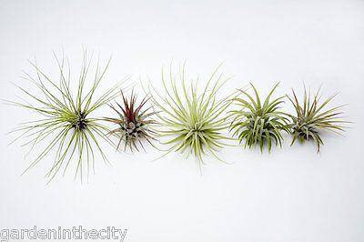 Air Plants Tillandsia Variety 5 Pack
