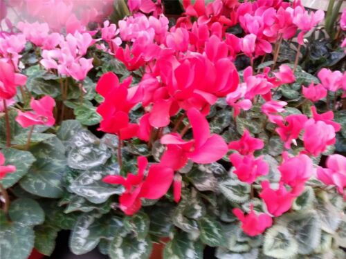 25 Seeds Flower Large Pack Giant Flowered Mix Cyclamen