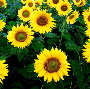 Sunflower-Giant-Yellow-Single-50-seeds-Annuals