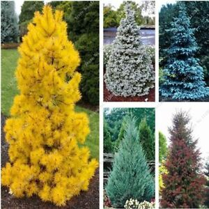 30Pcs-Yellow-Blue-Spruce-Tree-Seeds-Rare-Evergreen-Colorado-PICEA-PUNGENS-GLAUCA