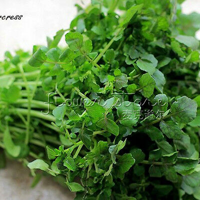 "400Cress ""Watercress"" Seeds Organic & Fresh  TT089"