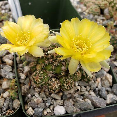 Lobivia aculeata Cactus Cacti Succulent Real Live Plant