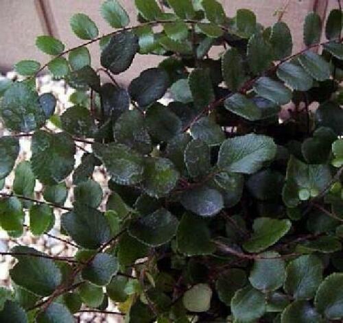 "Fern Button Live Plant 4/""Hanging Pot Basket Pellaea Easy to Grow Outdoor Indoor"