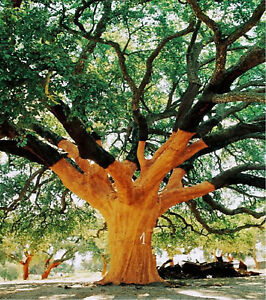 Quercus suber 10+ seeds cork oak evergreen oak tree seed ...