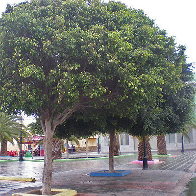 Weeping Fig Seed Ficus Benjamina No Frost Very Large Tree Ebay