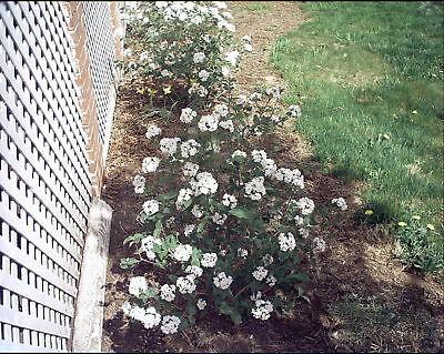 Viburnum carlesii koreanspice Fragrant Blooms graines!