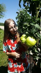 Giant Tomato Seeds X15! Big Zac! Award Winning!Can Produce Fruit Well Over 5lbs!