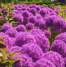 25 Seeds* Allium Giganteum* Giant Allium* Ornamental* 5-6 Inch lylac-purple blms