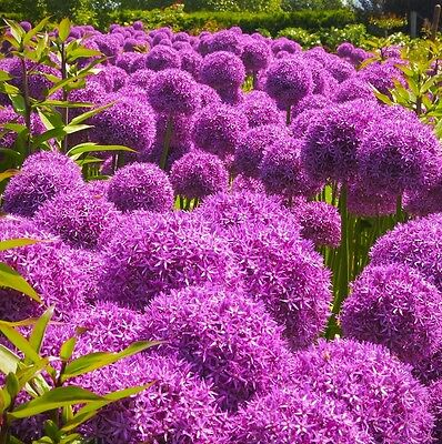 25 Seeds* Allium Giganteum* Giant Allium* Ornamental* 5-6 Inch lylac-purple blms
