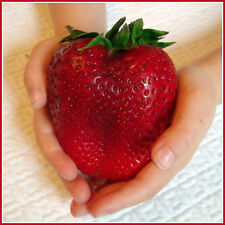 Giant Strawberry Seeds.(Pack of 10 seeds) R-004