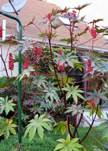 100 Seeds Red Leaf Castor Bean, Castor Oil Plant, Palmcrist, Ricinus carmencita